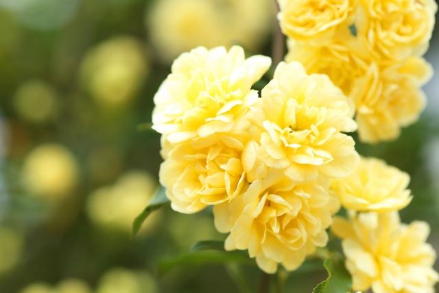 木香薔薇(モッコウバラ)の花言葉、誕生花、花名の由来も解説
