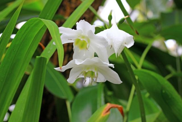 アマゾンリリーの花言葉や花名の由来や特徴、誕生花を解説
