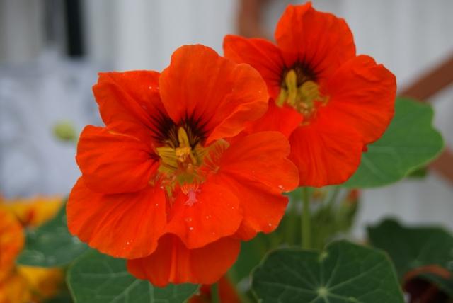 オリンピックやW杯などのスポーツの祭典の応援にぴったりな花。ナスタチウムとは?