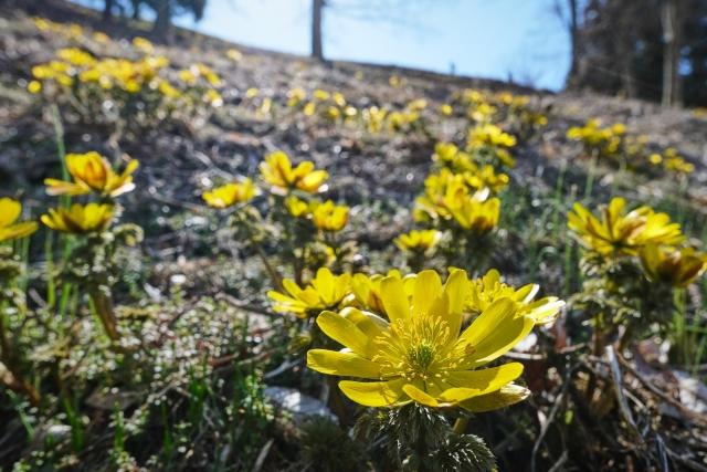 長生きできる花?縁起の良い名を持つ福寿草(元日草)の花言葉や特徴