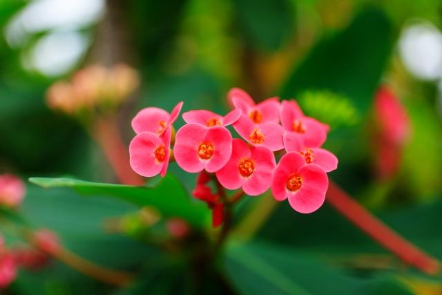 キスミークイック!自立するハナキリンの花言葉や特徴、花名の由来