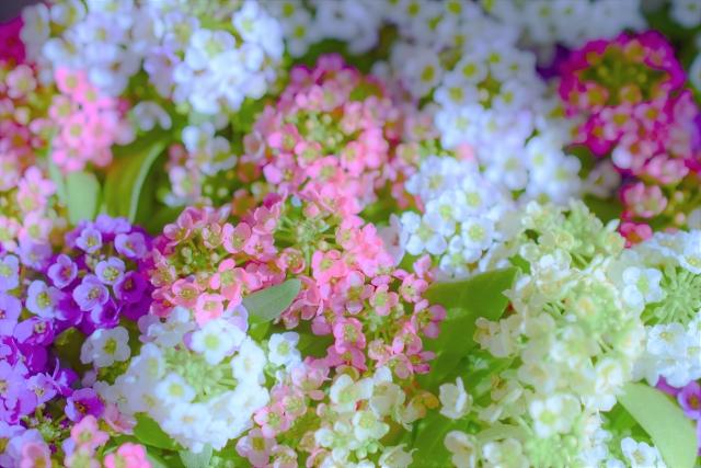 優美な花の絨毯を作るアリッサムの花言葉や特徴、花名の由来