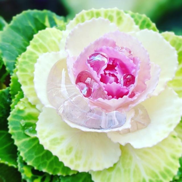 葉牡丹(Flowering kale)の花言葉や特徴、花名の由来、誕生花