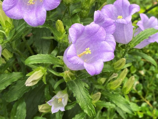 美しくふわふわで美しいベルフラワーの花言葉や花名の由来、誕生花