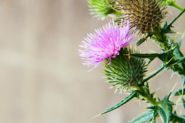 プレゼントには渡せないアザミの花言葉や特徴、花名の由来、誕生花