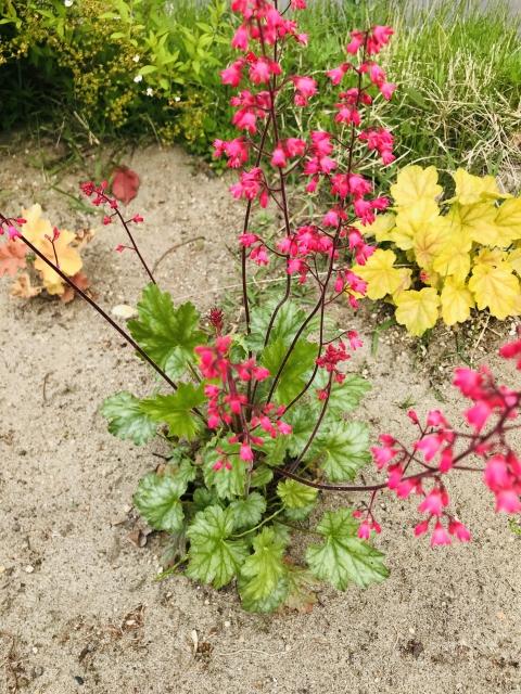 海の赤珊瑚!陸のツボサンゴ!和風を感じるツボサンゴの花言葉や特徴