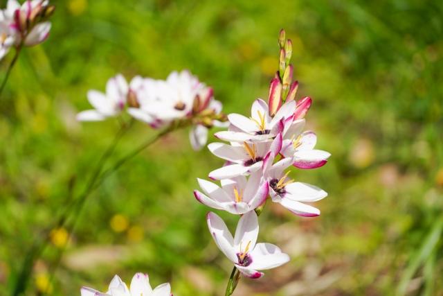 絶対に勝つ!!イキシア(Ixia)の花言葉や特徴、花名の由来、誕生花