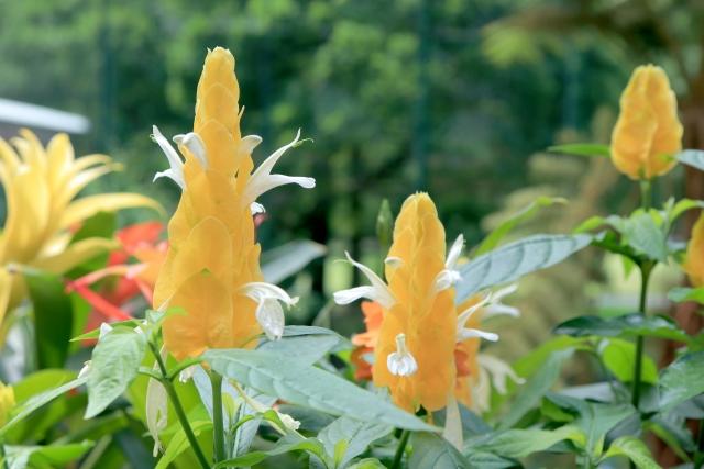 パキスタキス・ルテアの花言葉や花の特徴、花名の由来、誕生花を紹介