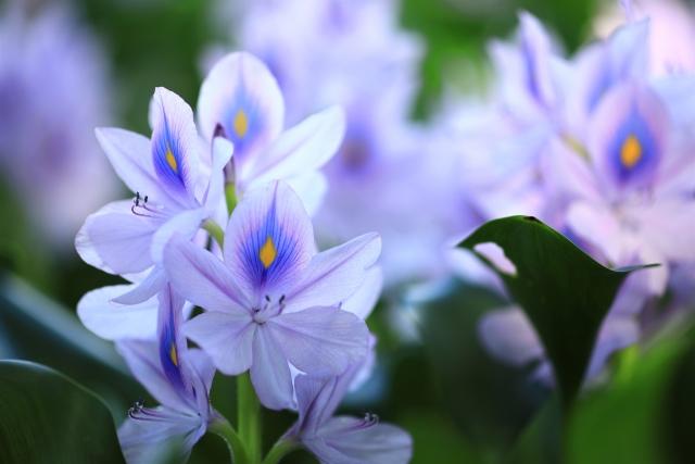 特定外来生物!?ホテイアオイの花言葉や特徴、花名の由来、誕生花
