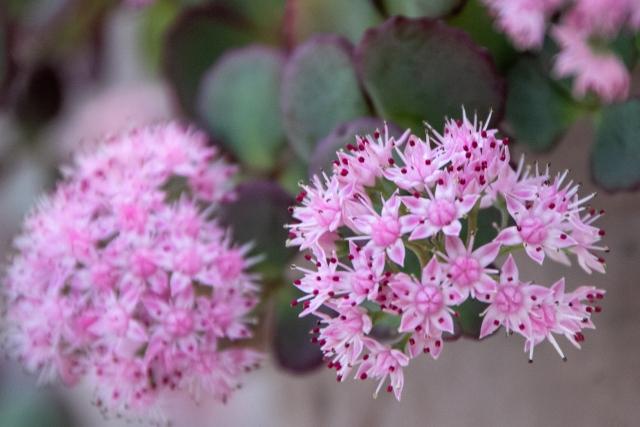 大切なあなたへ、ミセバヤの花言葉や特徴、花名の由来、誕生花を紹介