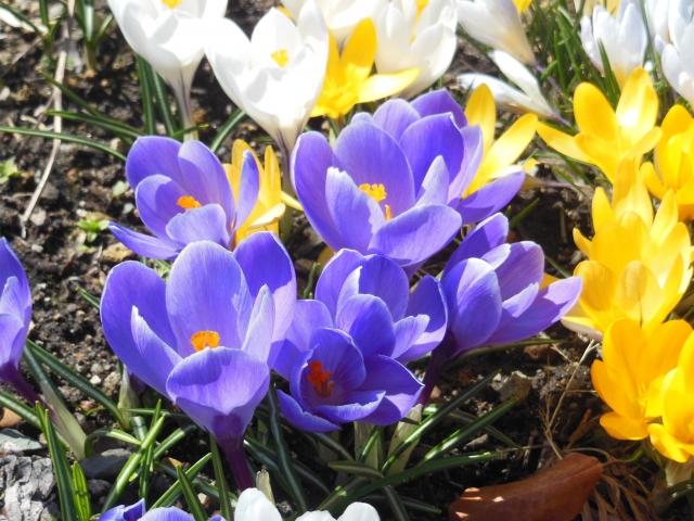 履き心地抜群のサンダルみたいな名前のクロッカスの花言葉や特徴