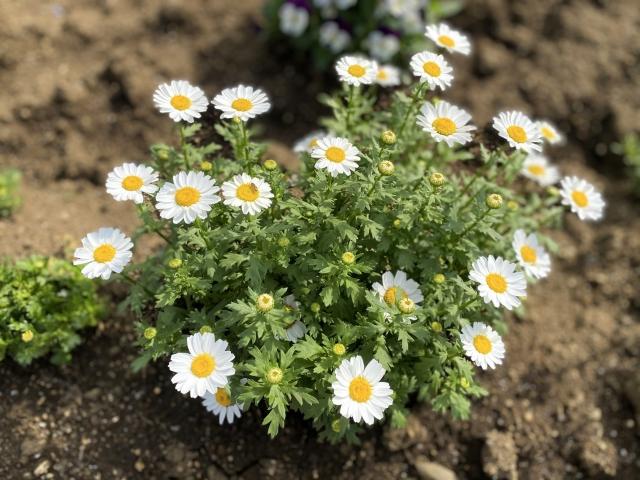マーガレット(Marguerite)の花言葉や特徴、花名の由来、誕生花