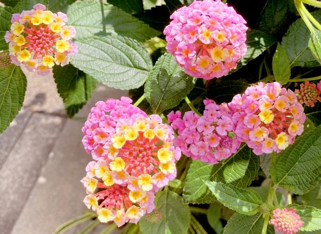 モノマネ芸人みたいな名前のシチヘンゲ(ランタナ)の花言葉や特徴