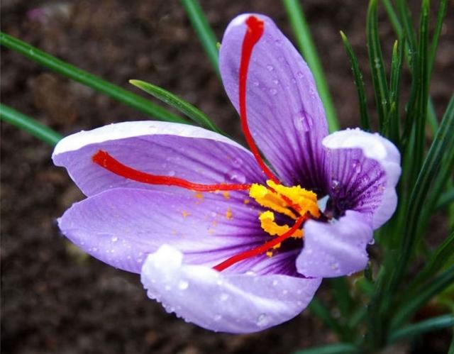 サフランの花言葉は怖い?サフランの特徴、花名の由来、誕生花を紹介