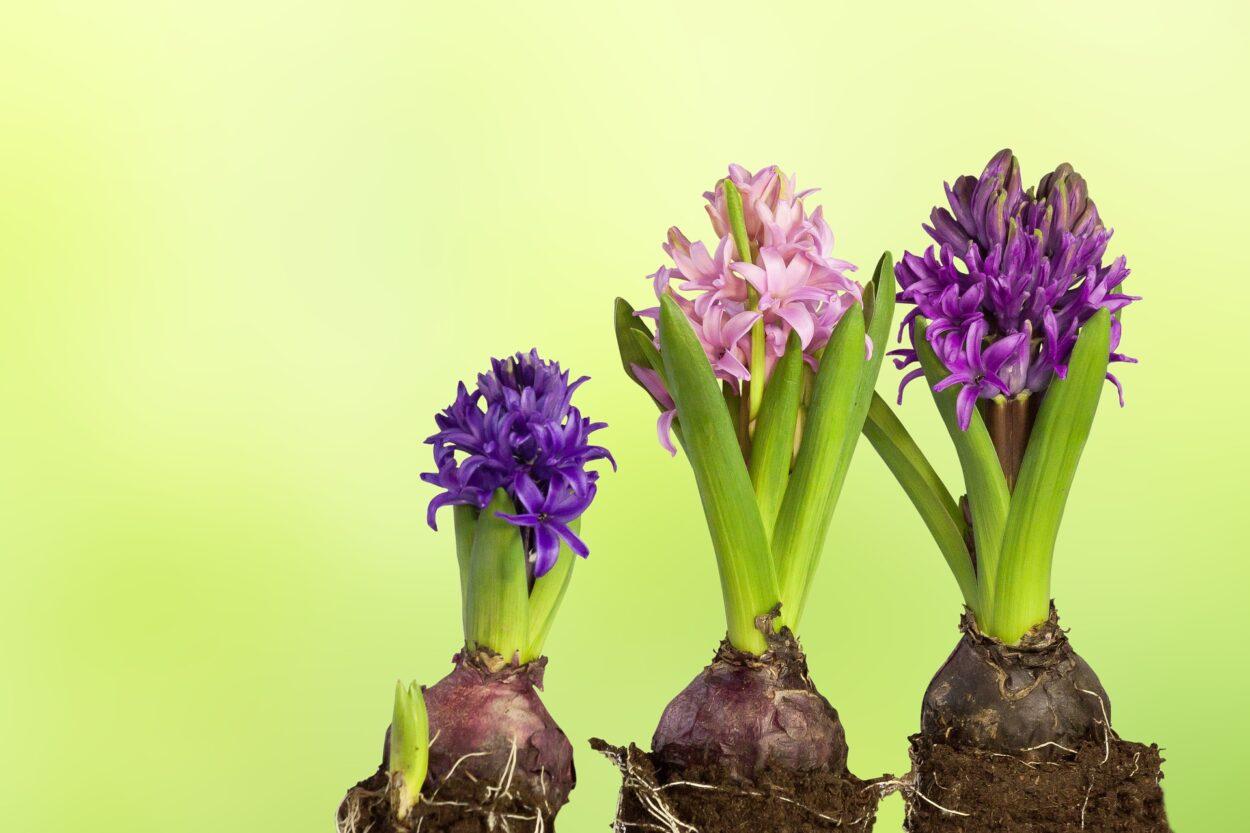 ブーケのようなポリキセナの花言葉や特徴、花名の由来、誕生花を紹介
