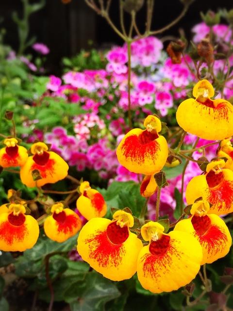 カルセオラリア(キンチャクソウ)の花言葉は?花言葉、花名の由来を紹介