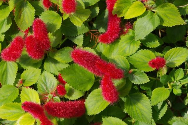 まるで猫の尻尾?キャッツテールの花言葉や花名の由来、誕生花を紹介