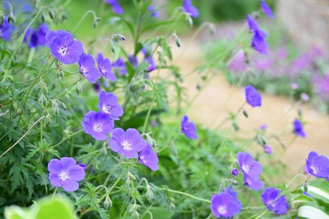 ゲラニウム(フウロソウ)の花言葉の由来や花名の由来、誕生花を説明