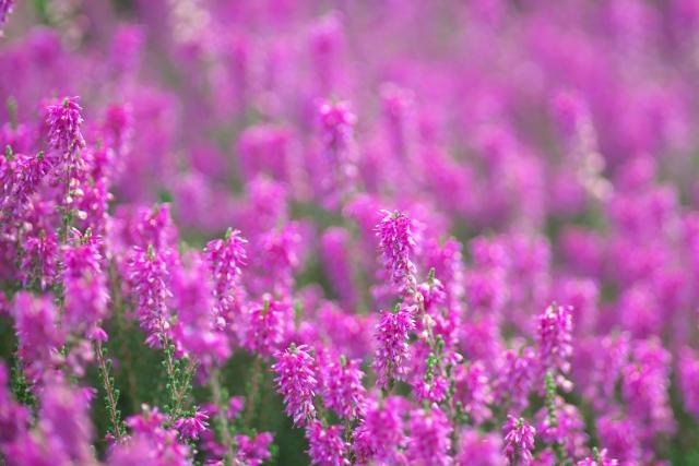 ピンク色の可愛らしい花!カルーナの花言葉や花名の由来、誕生花を紹介