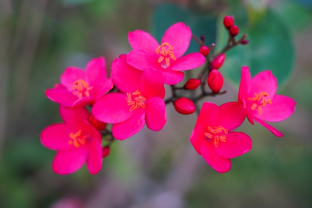テイキンザクラ(インドザクラ)の花言葉や花名の由来、誕生花を説明