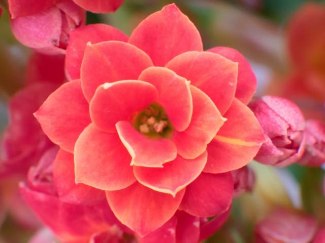 沢山の可愛い花を咲かせるカランコエの花言葉 花名の由来、誕生花を説明