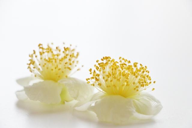 お茶の花(チャノキ)の花言葉や花の特徴、花名の由来、誕生花を紹介