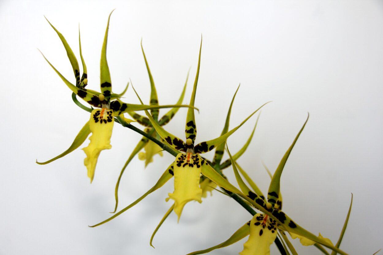 ブラッシア(スパイダーオーキッド)の花言葉は?花言葉、花名の由来を紹介